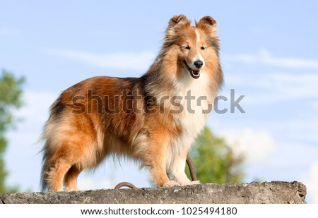 young shetland dog Stock photo © cynoclub