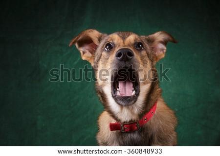 смешанный · черный · смешные · собака · портрет - Сток-фото © vauvau