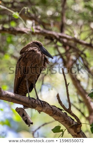 Eau oiseau Ethiopie Afrique faune africaine Photo stock © artush