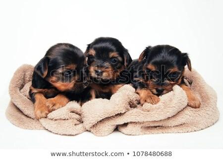 Três adorável yorkshire terrier em pé Foto stock © vauvau