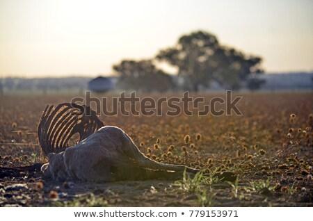 dead sheep rib cage Stock photo © pancaketom
