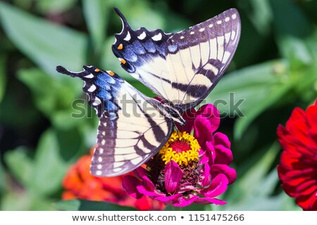Brilliant swallowtail butterfly feeding on flowers Stock photo © Ansonstock