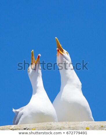 Iki martı kuşlar geniş açmak cornwall Stok fotoğraf © latent