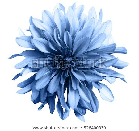 Uno fiore blu isolato bianco primo piano studio Foto d'archivio © boroda