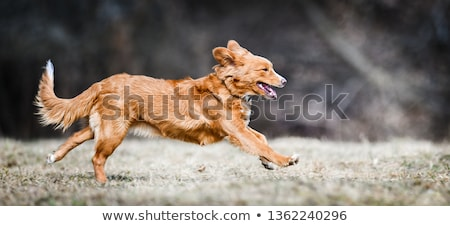 Nova Scotia Duck Tolling Retriever and a golden retriever Stock photo © eriklam