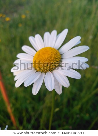 blooming daisies close up stock photo © julietphotography