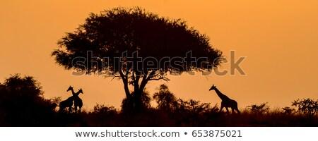 Körül Uganda természetes díszlet Afrika fa Stock fotó © prill