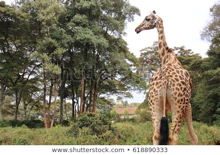 Rothschild Giraffe in african grassland Stock photo © prill
