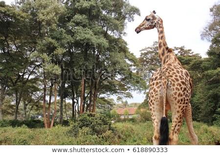 キリン · 種 · ネイティブ · ウガンダ · ケニア - ストックフォト © prill