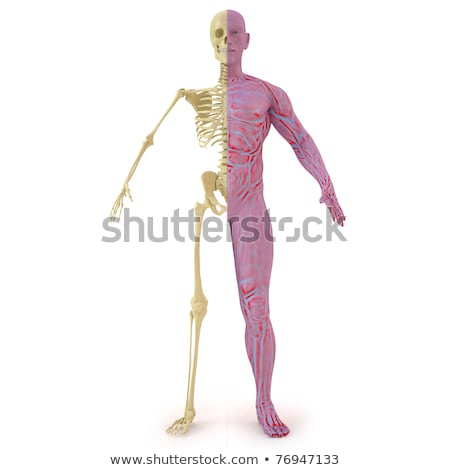 Anatomy illustration of man with half skeleton and half muscular Stock photo © Pixelchaos