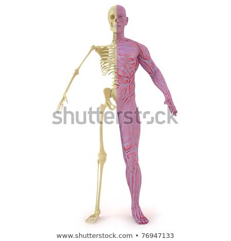 esqueleto · pernas · estrutura · corpo · vida · lata - foto stock © pixelchaos