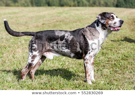 Louisiana luipaard hond portret groen gras papier Stockfoto © CaptureLight