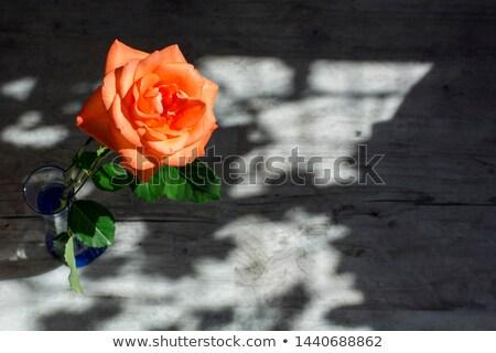 Beautiful orange rose Stock photo © Masha