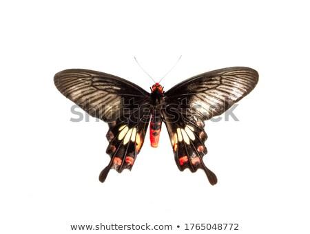 Scarlet Swallowtail Butterfly Stock photo © billperry