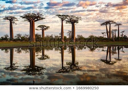 baobab Stock photo © perysty