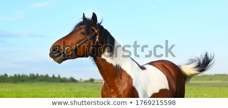 horses grazing inthe pasture long haired paint stock photo © cboswell