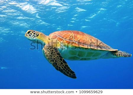 teknős · Vörös-tenger · hal · tájkép · tenger · háttér - stock fotó © otohime