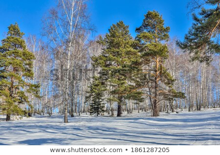 Stock photo: Birchwood and pine