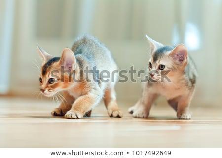 kedi · yavrusu · genç · kedi · eylem · turuncu · portre - stok fotoğraf © ivz