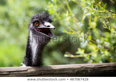 Young emu looks curiously at the camera Stock photo © tboyajiev