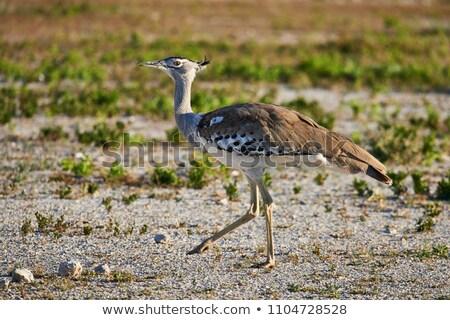 Safari park Namibya doğa çöl kuş Stok fotoğraf © imagex