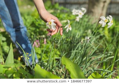 voorjaar · narcissen · tuin · Blauw · bokeh · bloemen - stockfoto © monkey_business