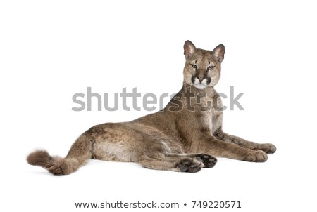 portrait of lying puma Stock photo © OleksandrO