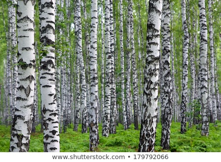 nice summer birch forest stock photo © mikko