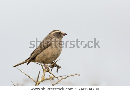 Streaky-headed Seedeater (Serinus gularis) Stock photo © dirkr
