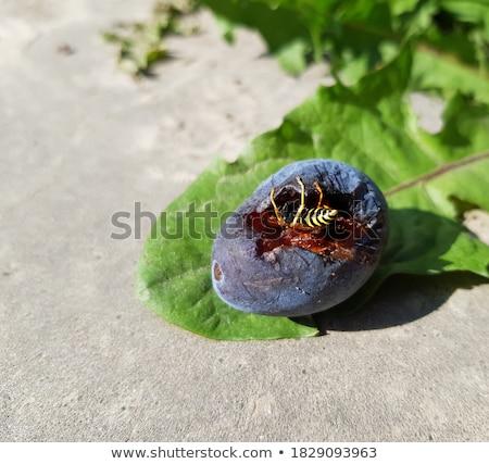 梅子 黄蜂 树 食品 动物 翅膀 商业照片 klinker