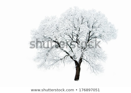 trees in winter at dusk covered in snow Stock photo © chrisga
