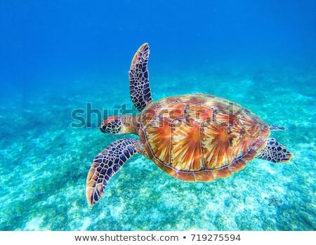 Portré tenger teknős közelkép kilátás fej Stock fotó © JFJacobsz