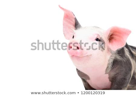 feliz · porco · sorridente · olhando · diretamente · jovem - foto stock © artybloke