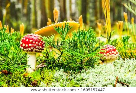 Voar floresta branco cogumelo pequeno veneno Foto stock © maxsol7