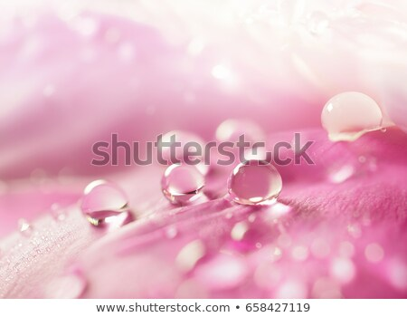 Peony petals with dew drops Stock photo © teerawit