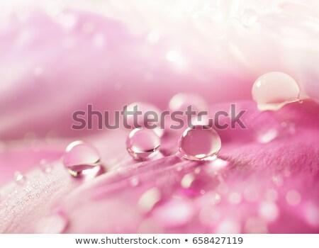 Peony petals with dew drops stock photo © teerawit