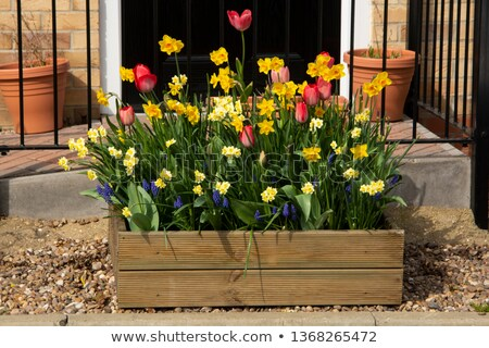 Colorful tulips in the home garden Stock photo © hraska