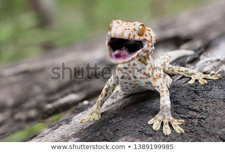 Gekkó illusztráció fehér szemek tudomány állatok Stock fotó © bluering