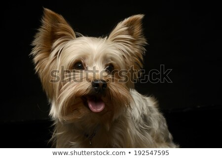 Stock photo: Happy Yorkshire Terrier smiling in a studio shoot