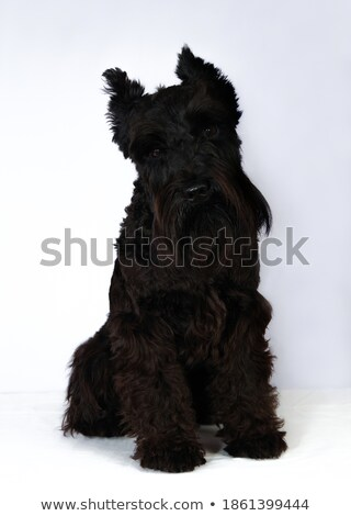 Black schnauzer portait in a white studio stock photo © vauvau