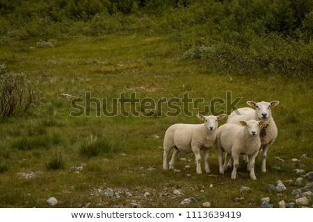 three sheep animals in nature in norway Stock photo © compuinfoto