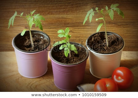 Young tomato seedlings on wooden backdround. Gardening concept. stock photo © Virgin