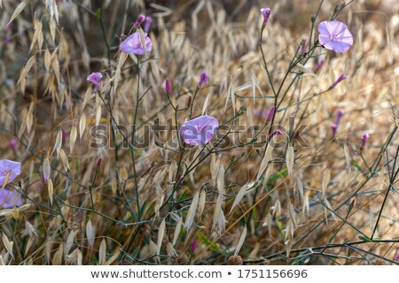 wild mallow stock photo © vrvalerian
