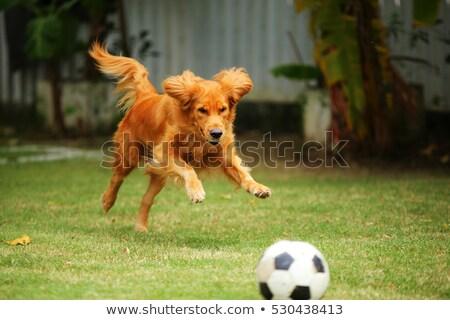 Amarelo diversão cão jogar futebol isolado Foto stock © orensila