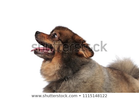 side view of funny pomeranian head with mouth open Stock photo © feedough
