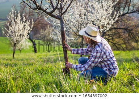 agronomist or farmer examine blooming plum trees in orchard stock photo © freeprod