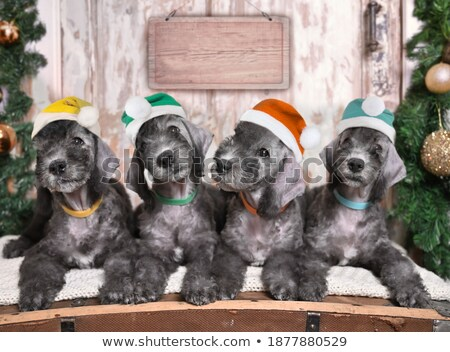 adorable team of dogs wearing santa claus costumes Stock photo © feedough