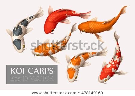 ニシキゴイ 実例 水 熱帯 白 ストックフォト © colematt