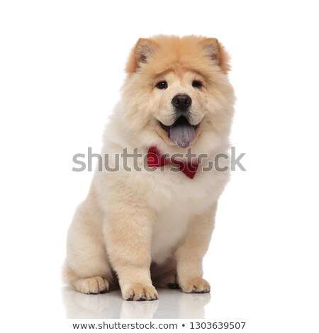 adorable chow chow wearing red bowtie sitting with tongue expose Stock photo © feedough