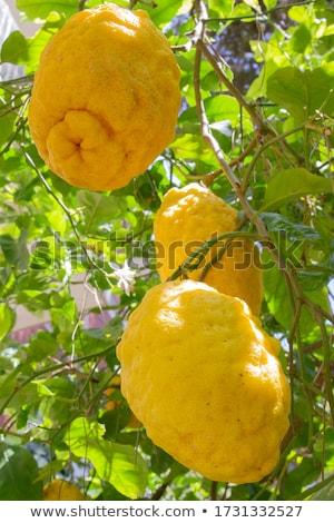 Citron Exotic Juicy Large Fragrant Citrus Fruit Stock photo © robuart